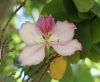 Arbre orchidée fleur Bauhinia sp