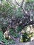 Arbre àsaucisses, Kigelia  (Lam.) Benth.