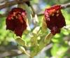 Kigelia africana (Lam.) Benth