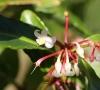 Ardisia crenata, fleurs.