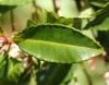 Ardisia crenata, feuilles.