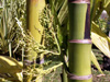 Triandra palm - Areca triandra. Palmier, flore île de La Réunion