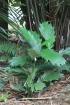 Arenga hookeriana (Becc.) Whitmore.