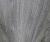 Arenga hookeriana, face inférieure du limbe.