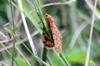Argina astrea. Papillon de La Réunion.