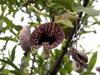 Aristoloche littoralis. Aristolochia littoralis