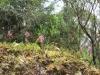 Arnottia mauritiana A. Rich. Orchidée de La Réunion.
