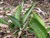 Arrow-root, rouroute. Maranta arundinacea