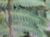 Arthropteris orientalis (J.F. Gmel.) Posth. var. orientalis