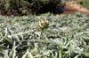 Artichaut camus de Bretagne et violet de Provence Cynara scolymus