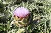 Fleur : Artichaut camus de Bretagne et violet de Provence Cynara scolymus