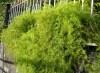 Asparagus densiflorus (Kunth) Jessop