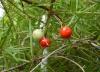 Asparagus densiflorus (Kunth) Jessop Asparagus de Spenger
