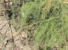 Asparagus officinalis, Asperge.