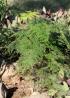 Asparagus setaceus (Kunth) Jessop.