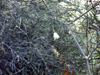 Asparagus umbellulatus Bresler. Asperge sauvage.