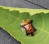 Aspidomorpha quinquefasciata (Fabricius, 1801).