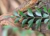 Asplenium aethiopicum (Burm. f.) Bech