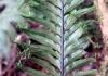 Asplenium daucifolium Lam. var. lineatum