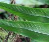 Asplenium daucifolium Lam. var. lineatum.