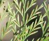 Asplenium daucifolium Lam. var. viviparum (L. f.) C.V. Morton.