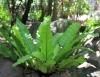 Asplenium nidus L. var. nidus