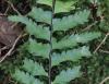 Asplenium pellucidum Lam. subsp. pellucidum.
