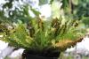 Asplenium scolopendrium L