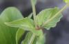 Asystasia gangetica (L.) T. Anderson subsp. micrantha (Nees) Ensermu.