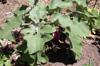 Aubergine ou bringelle - Solanum melongena