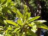 Pomme d'éléphant, Baboul ou Graine bourrique ou Elephant Apple - Dillenia indica