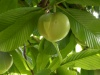 Fruit Elephant Apple - Dillenia indica