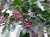 Baie rose de Bourbon. Schinus terebinthifolia Raddi.