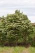 Aleurites moluccanus (L.) Willd