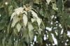 Aleurites moluccanus (L.) Willd. Feuilles et inflorescence.