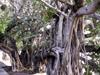 Banian Ficus benghalensis