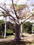 Baobab adansonia digitata