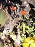 Baobab Nain ou Fleur de Corail ou Plante bouteille ou Médicinier Jatropha podagrica