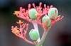 Jatropha podagrica. Fleur de Corail
