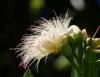 Barringtonia asiatica.