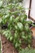 Basilic Ocimum basilicum L.