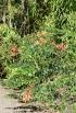Bauhinia galpinii N.E. Br. Bauhinia rouge.