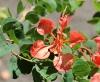 Bauhinia rouge