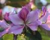 Bauhinia variegata L. Fleur.