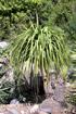 Beaucarnea recurvata. Pied d'éléphant