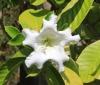 Beaumontie à grandes fleurs
