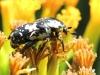 Protaetia aurichalcea, Bébête l'argent