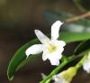 Beclardia macrostachya (Thouars) A. Rich