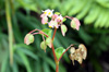 Begonia cucullata Willd