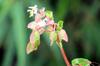 Begonia cucullata Willd. Bégonia